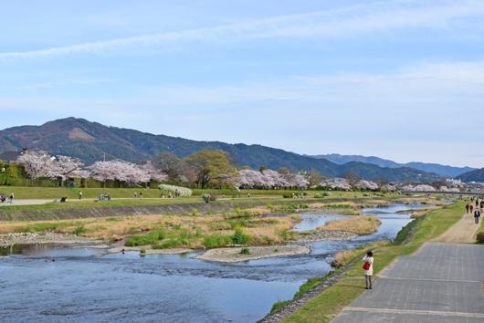 kamogawasakura161