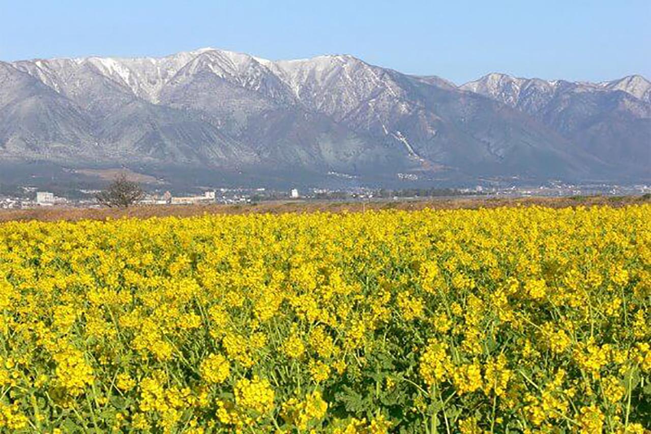 第1なぎさ公園で菜の花が満開に咲く様子(提供:びわこビジターズビューロー)