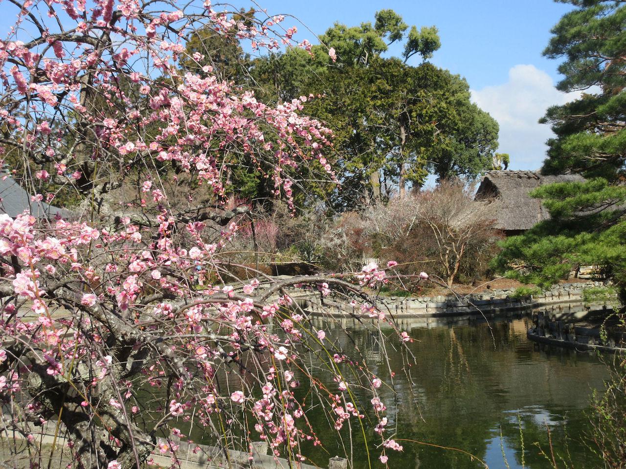咲耶池と梅