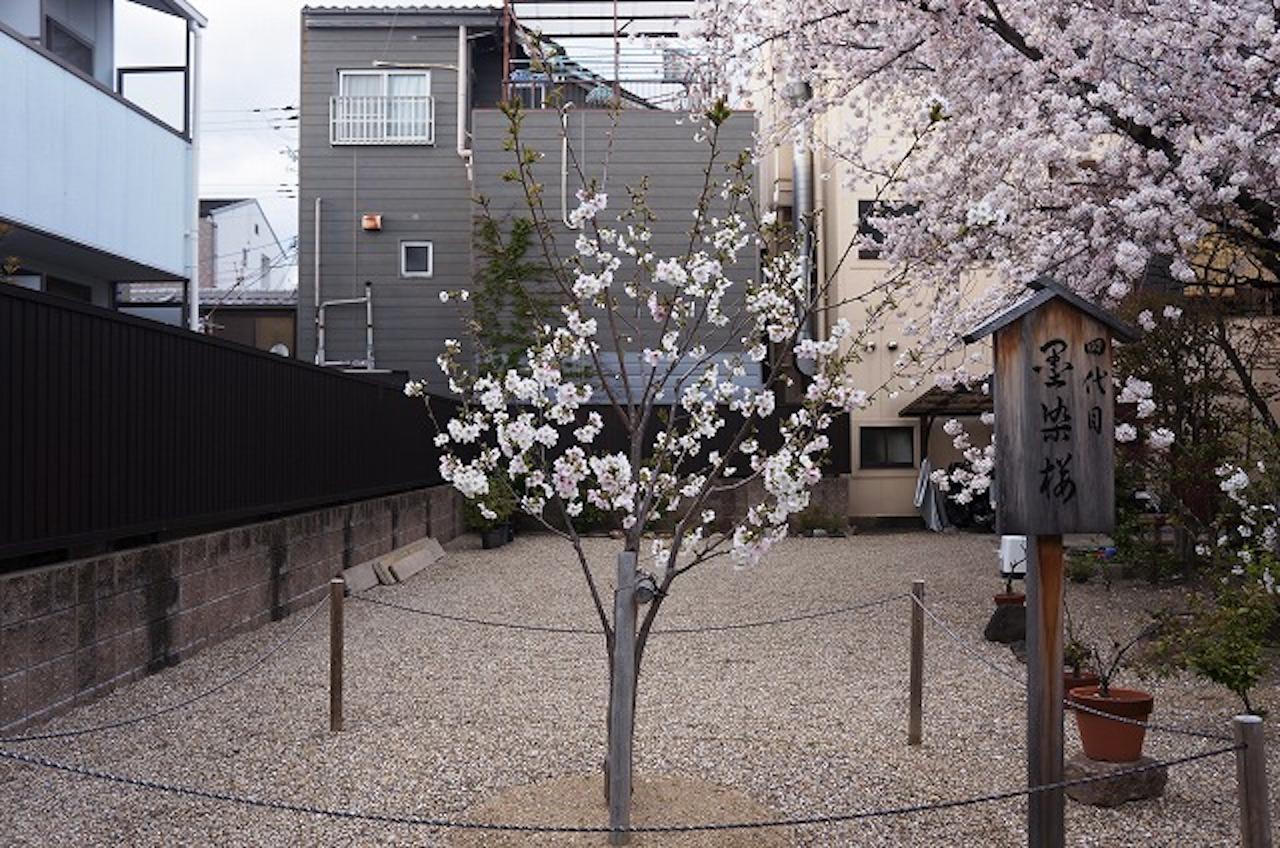 現在は4代目となる桜の若木が、小さく薄墨色をした花を咲かせている
