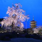 京都の夜桜・桜ライトアップ情報2021