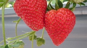 berryfarm01