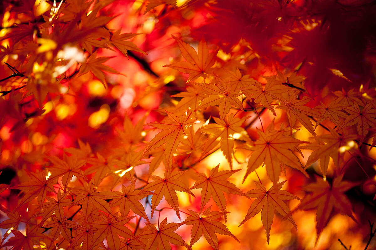 京都紅葉ライトアップ14選