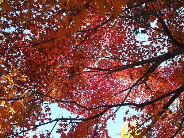1120_kouyou_arashiyama_06