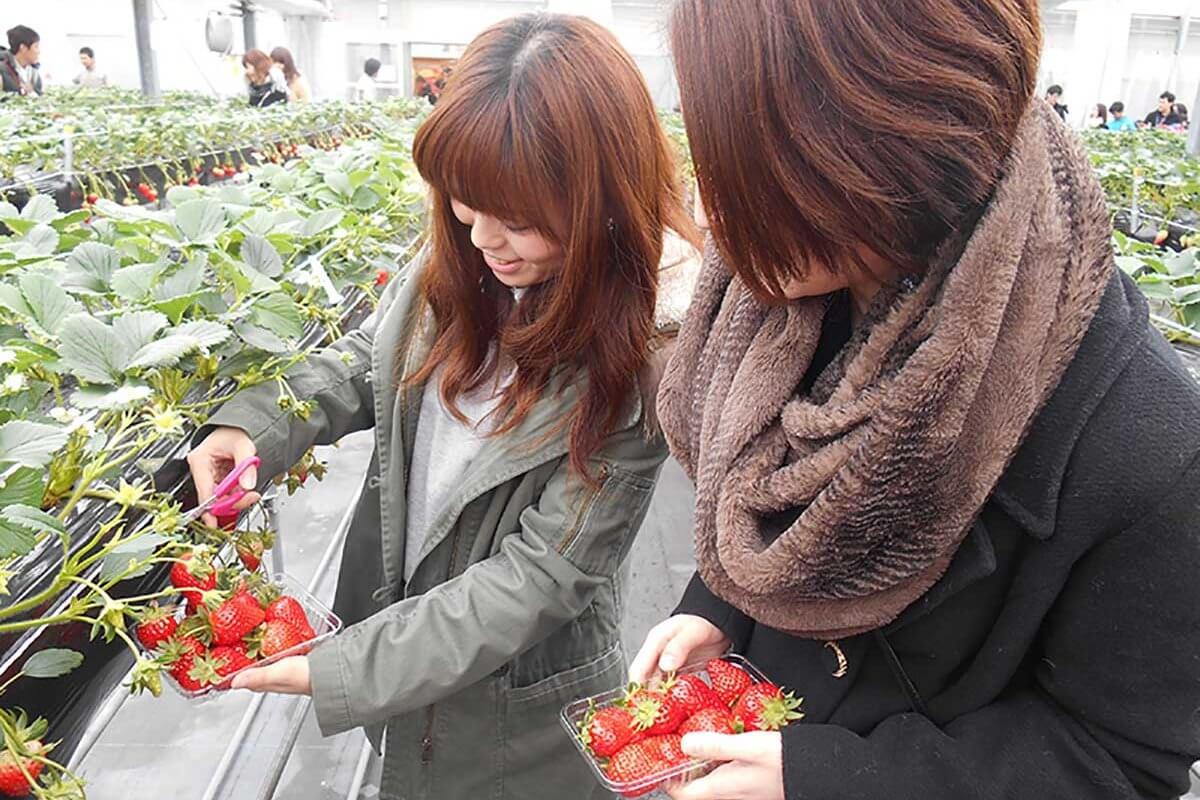 あま〜いイチゴを口いっぱいに頬ばろう!京都・滋賀イチゴ狩りニュース