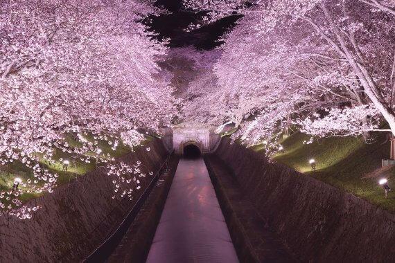 滋賀・桜ライトアップ 6選