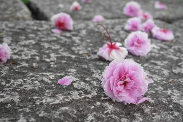 京の桜の不思議と言い伝え