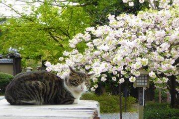 京の桜にまつわる伝説Ⅱ